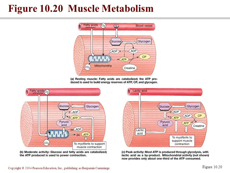 How To Build Muscle Fast Metabolism