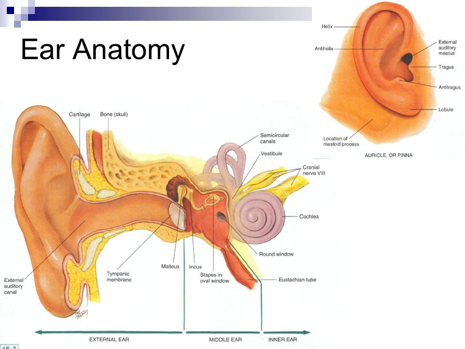 Ear Ppt Video – EdPeer