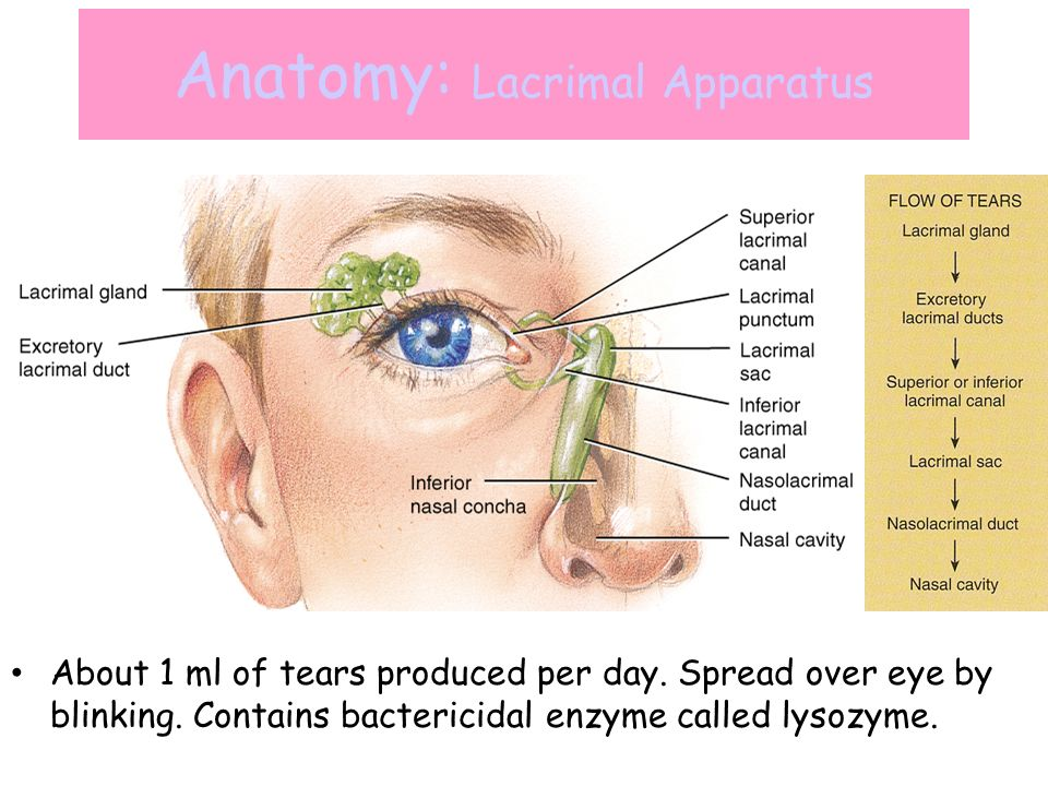 Exelent Lacrimal Duct Anatomy Festooning - Anatomy And Physiology ...