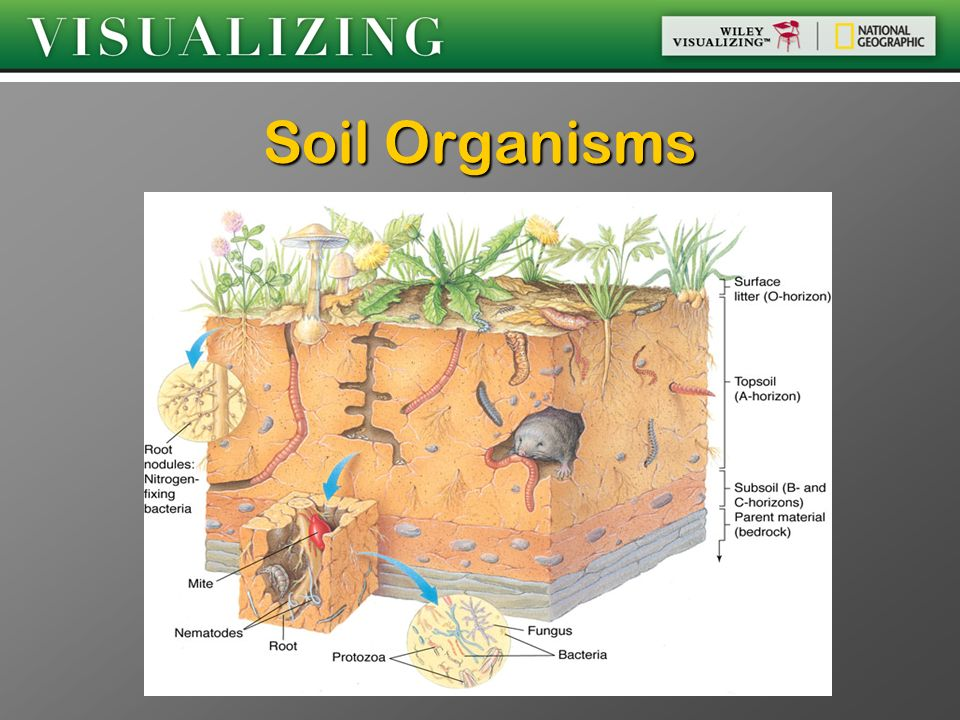 Chapter 8 land resources and uses ppt video online download for Soil organisms