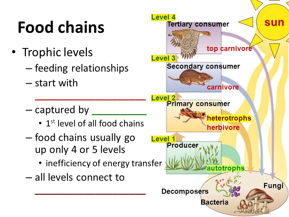 Food chains Trophic levels sun feeding relationships