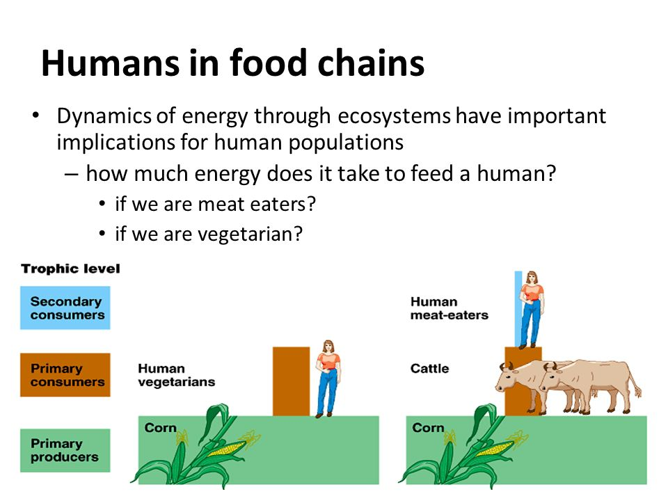 Humans in food chains Dynamics of energy through ecosystems have important implications for human populations.