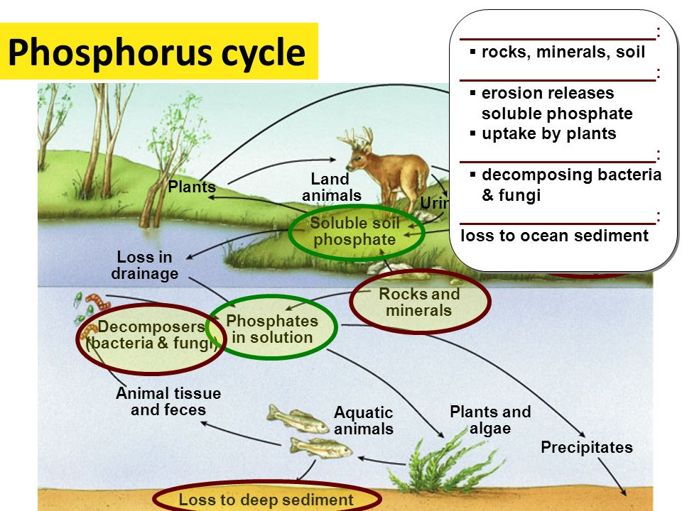 Phosphorus cycle _____________________: rocks, minerals, soil