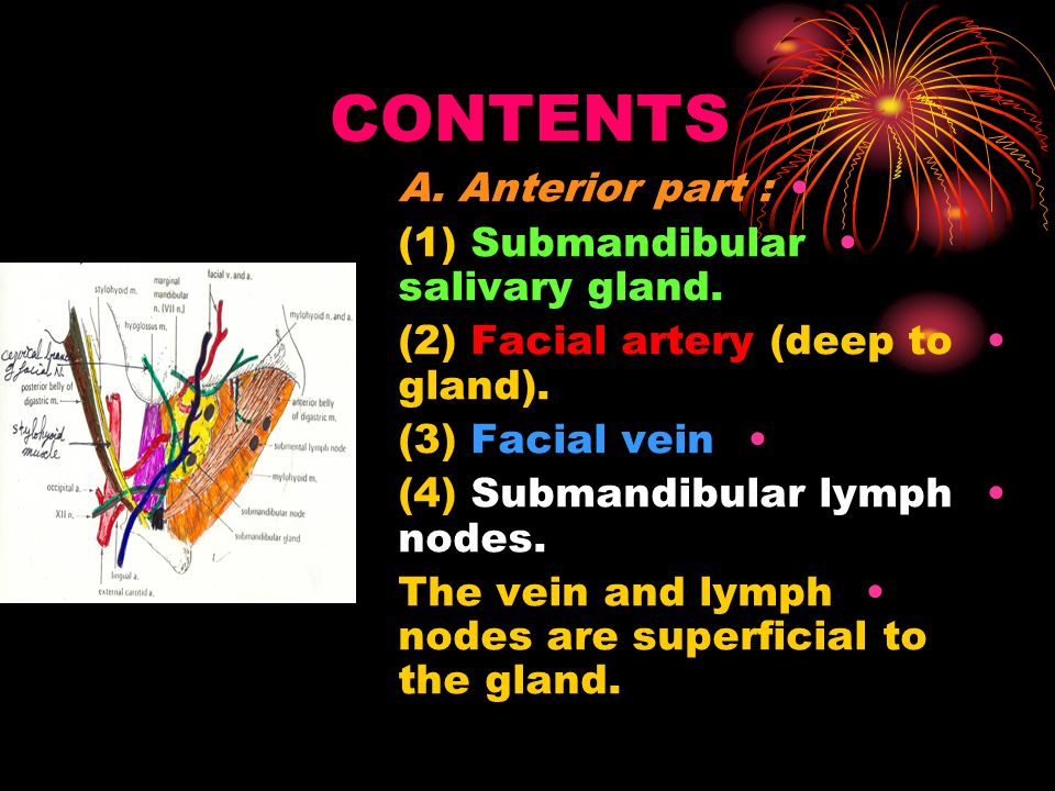 CONTENTS A. Anterior part : (1) Submandibular salivary gland.