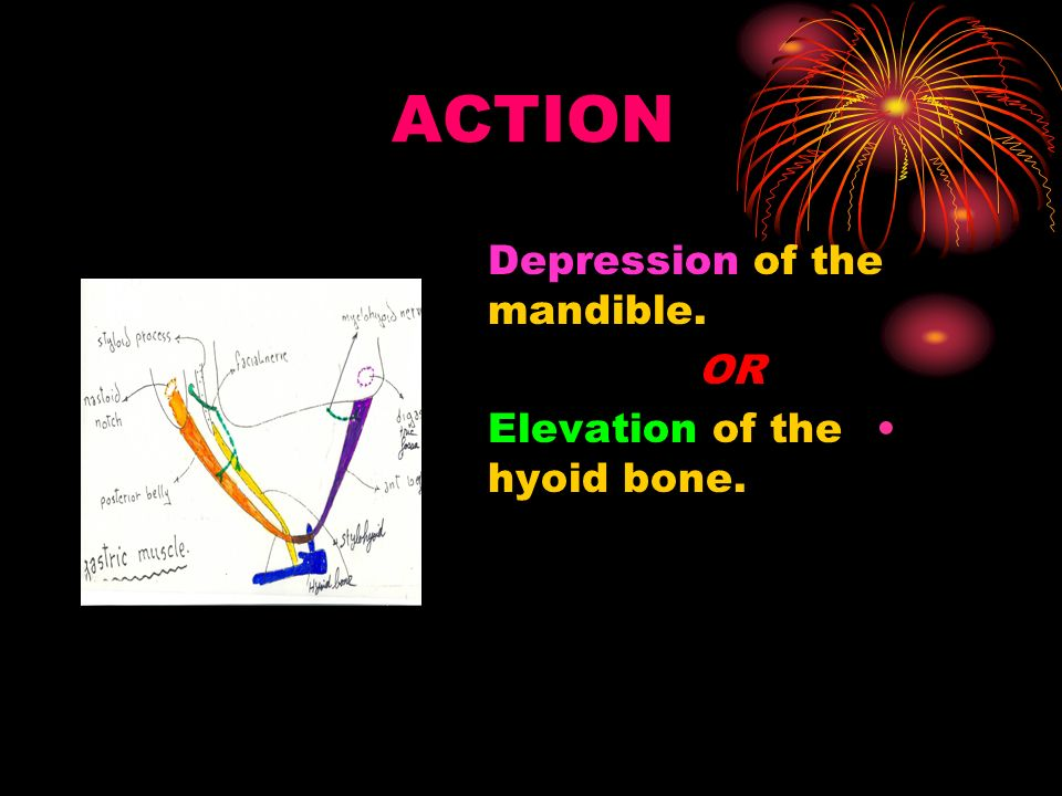 ACTION Depression of the mandible. OR Elevation of the hyoid bone.