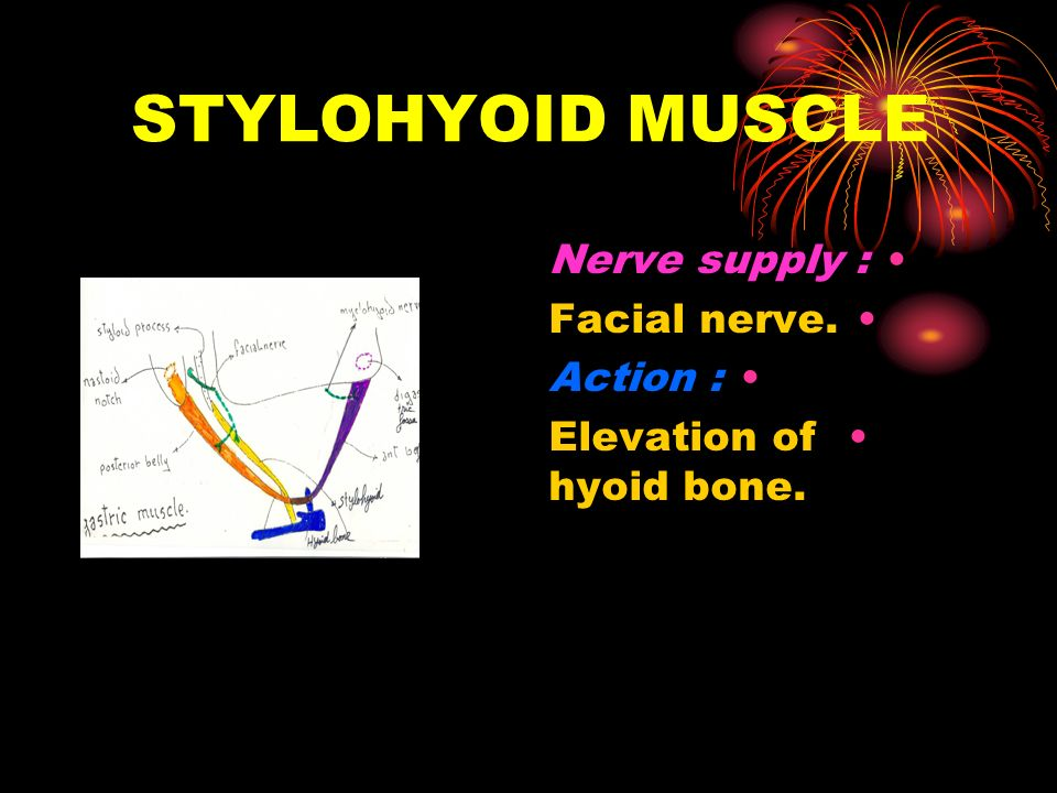 STYLOHYOID MUSCLE Nerve supply : Facial nerve. Action :