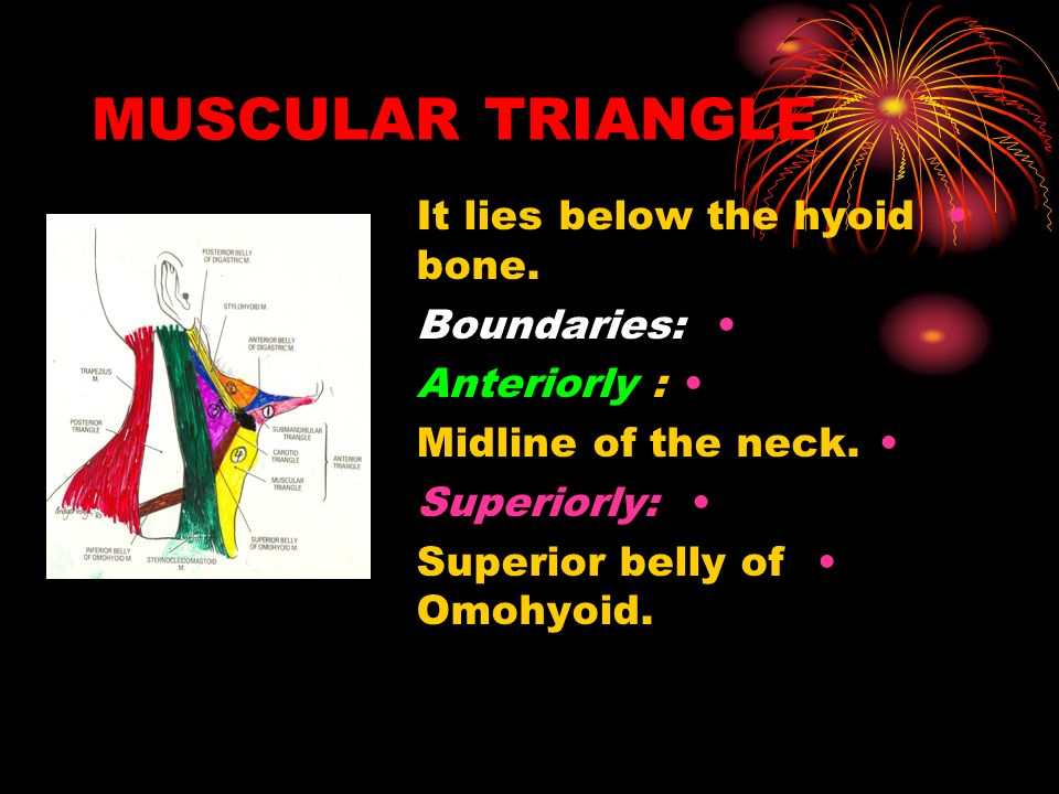 MUSCULAR TRIANGLE It lies below the hyoid bone. Boundaries: