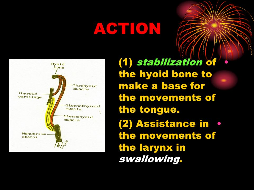 ACTION (1) stabilization of the hyoid bone to make a base for the movements of the tongue.