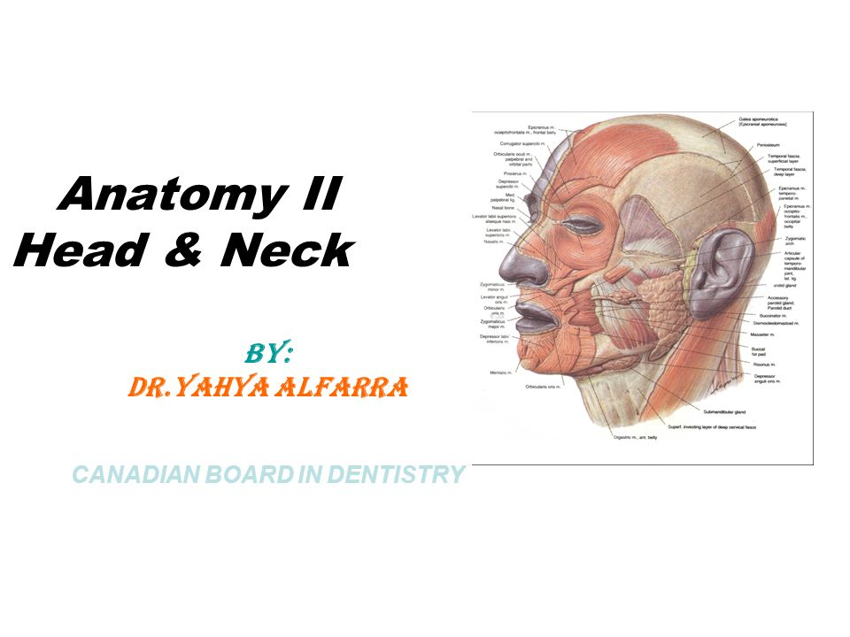Anatomy Ii Head Neck By Dr Ppt Video Online Download
