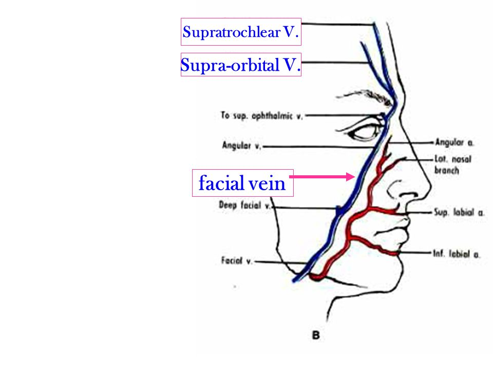 Anatomy of the Face By Dr.ayat eldomouky. - ppt video ...