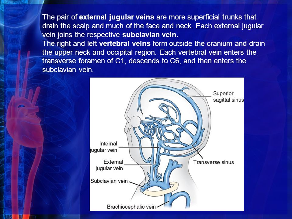 divisions or components of the circulatory system - ppt video, Cephalic Vein