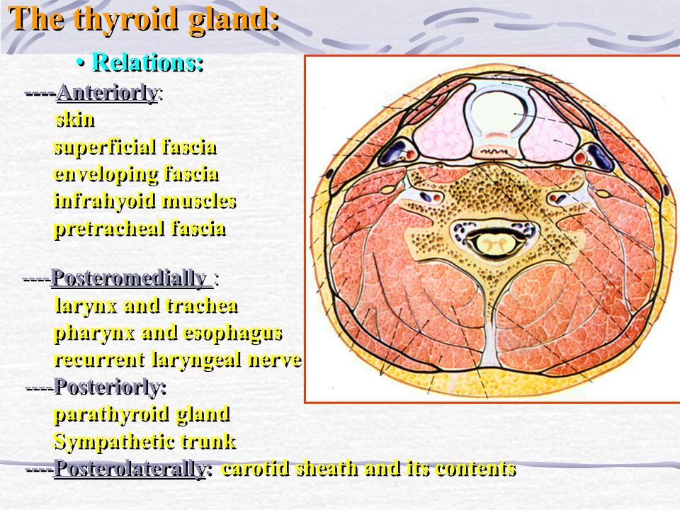 The thyroid gland: Relations: ----Anteriorly: superficial fascia