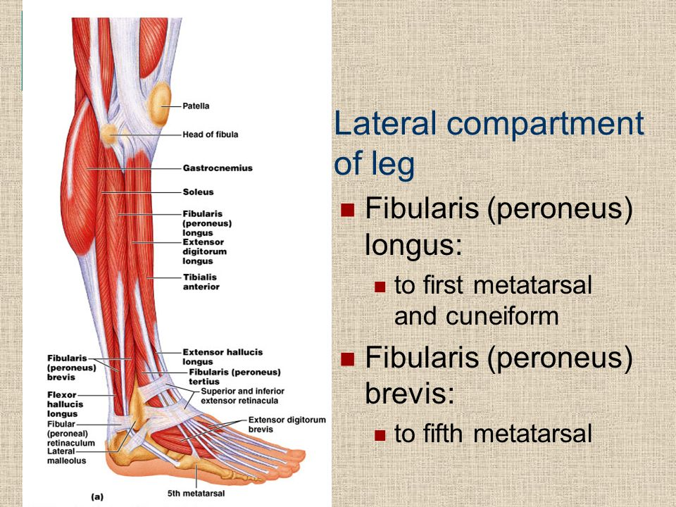 lateral compartment of leg - photo #18