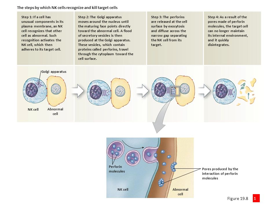 Natural Killer Cells Overview