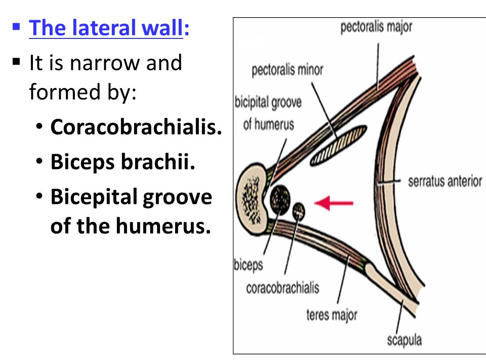 The lateral wall: It is narrow and formed by: Coracobrachialis.