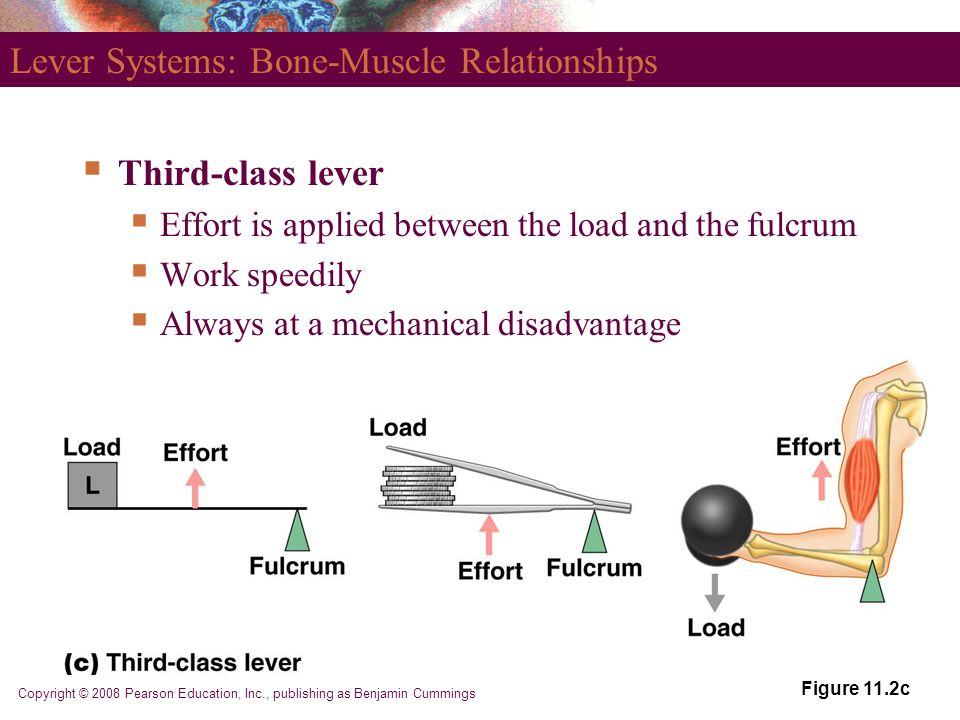 relationship between bones and muscles