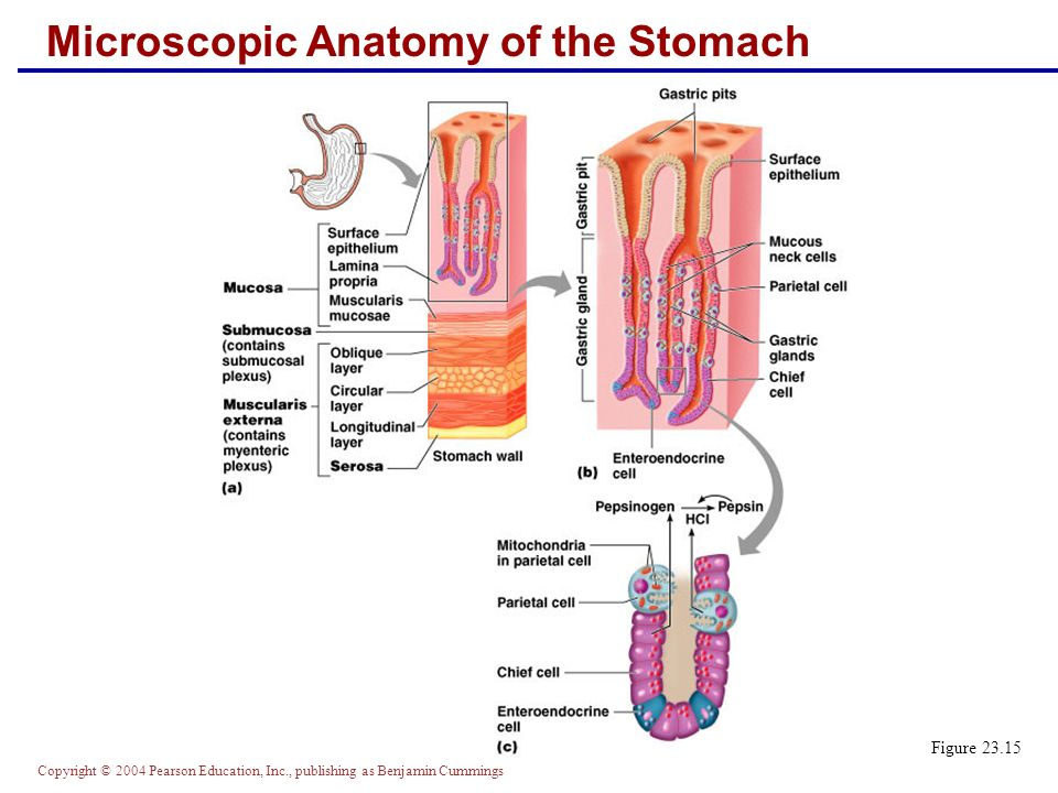 Microscopic Anatomy Of Stomach Image collections - human body anatomy