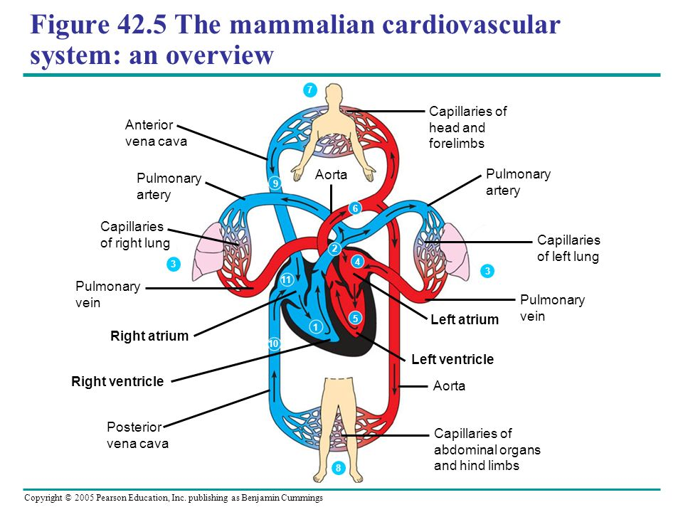an examination of the heart and the circulatory system Circulatory system - multiple choice test  the human heart is: a made of muscle b a pump c has four chambers d beats faster when you exercise e all of the above.