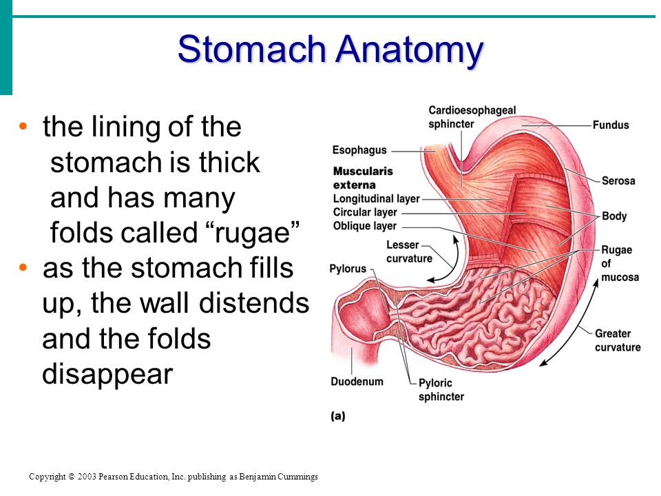 Stomach Anatomy the lining of the stomach is thick and has many