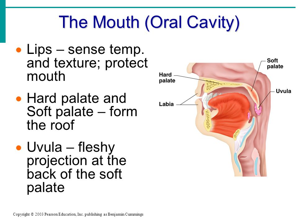 The Mouth (Oral Cavity)