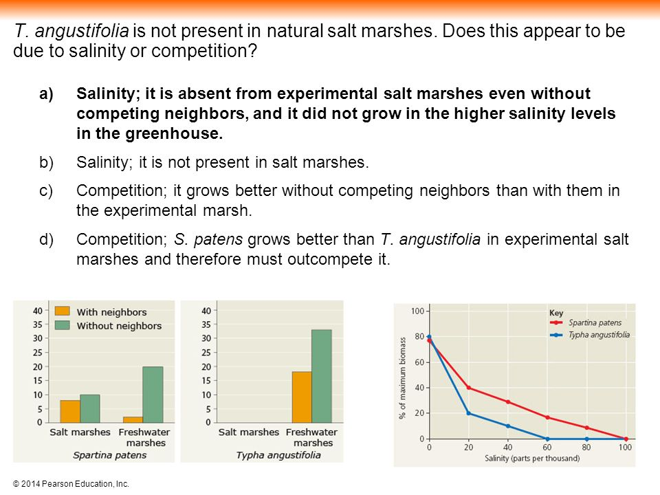T. angustifolia is not present in natural salt marshes
