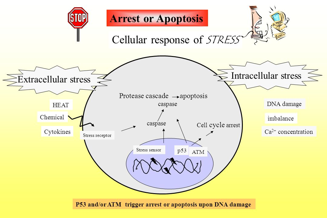 Cellular response of STRESS