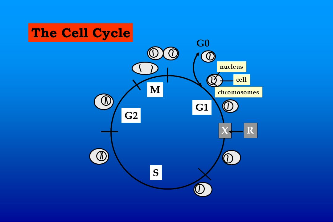 The Cell Cycle G0 nucleus cell M chromosomes G1 G2 X R S
