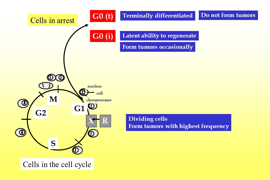 G0 (t) Cells in arrest G0 (i) M G1 G2 X R S Cells in the cell cycle