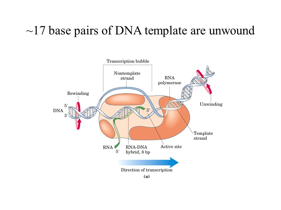 rna metabolism dna dependent synthesis of rna rna processing ppt video online download. Black Bedroom Furniture Sets. Home Design Ideas
