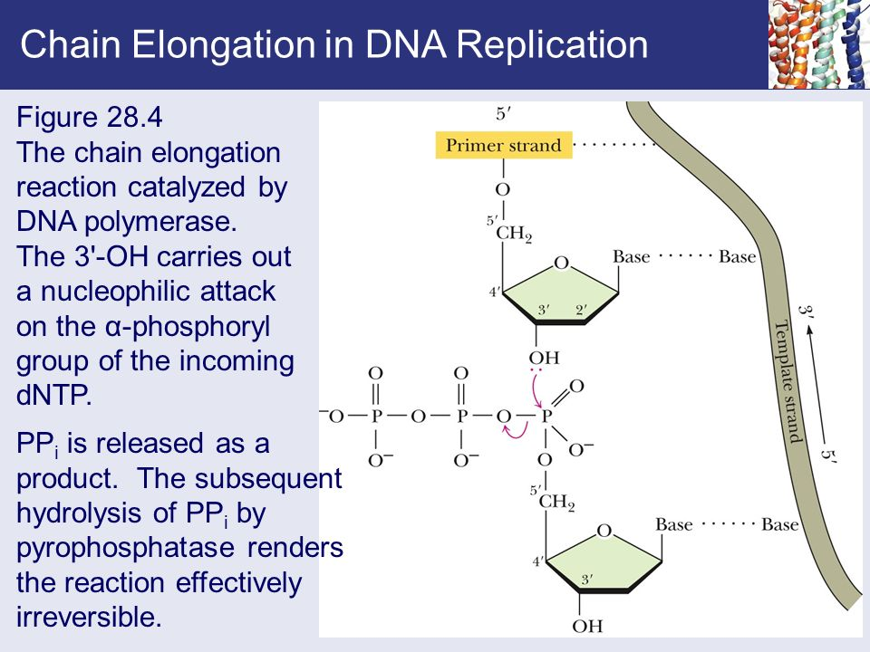 explain how dna serves as its own template during replication - chapter 28 dna metabolism replication recombination and