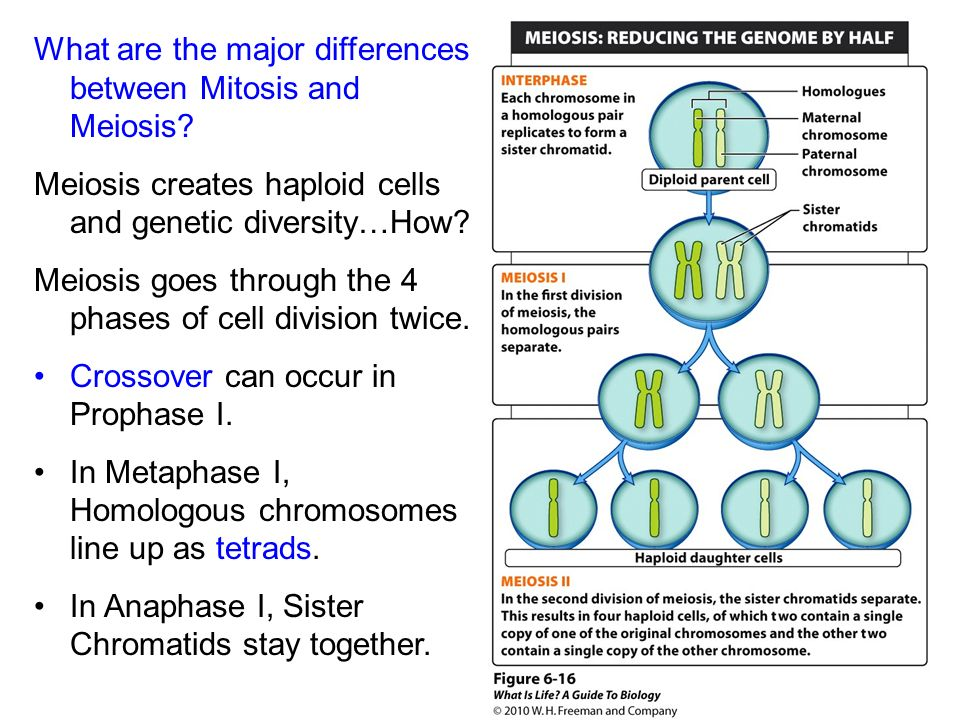 meet and up difference between mitosis