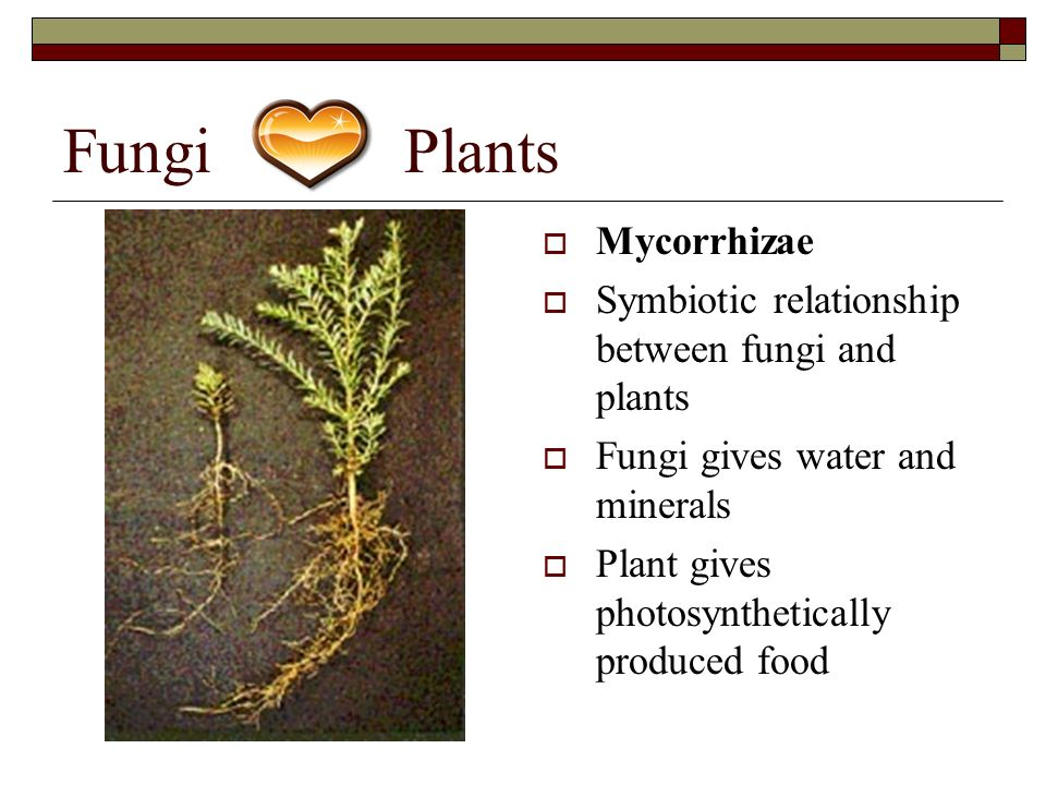 mutualistic relationship of plants and mycorrhizae are