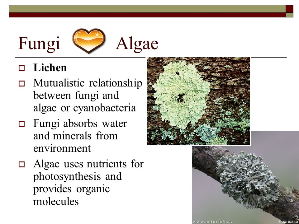 symbiotic relationship between lichen and mycorrhizae examples