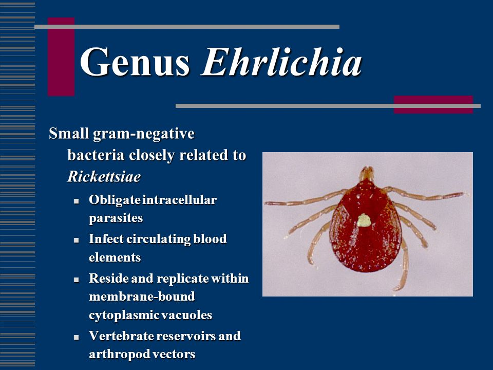 Genus Ehrlichia Small gram-negative bacteria closely related to Rickettsiae. Obligate intracellular parasites.