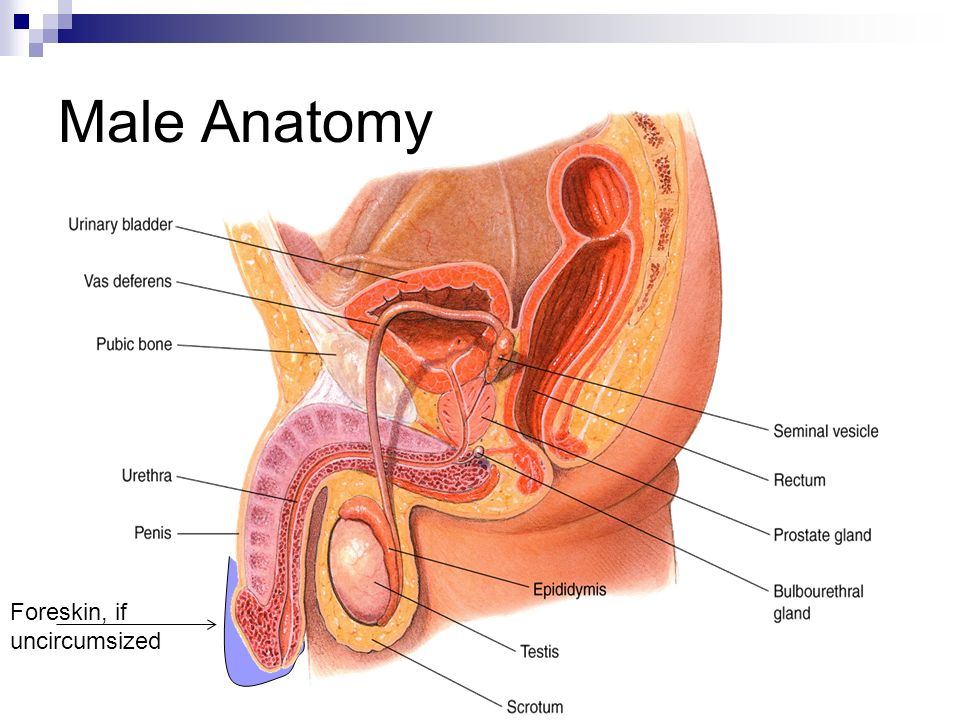 Lujo Anatomy And Physiology Of Prostate Gland Adorno - Imágenes de ...