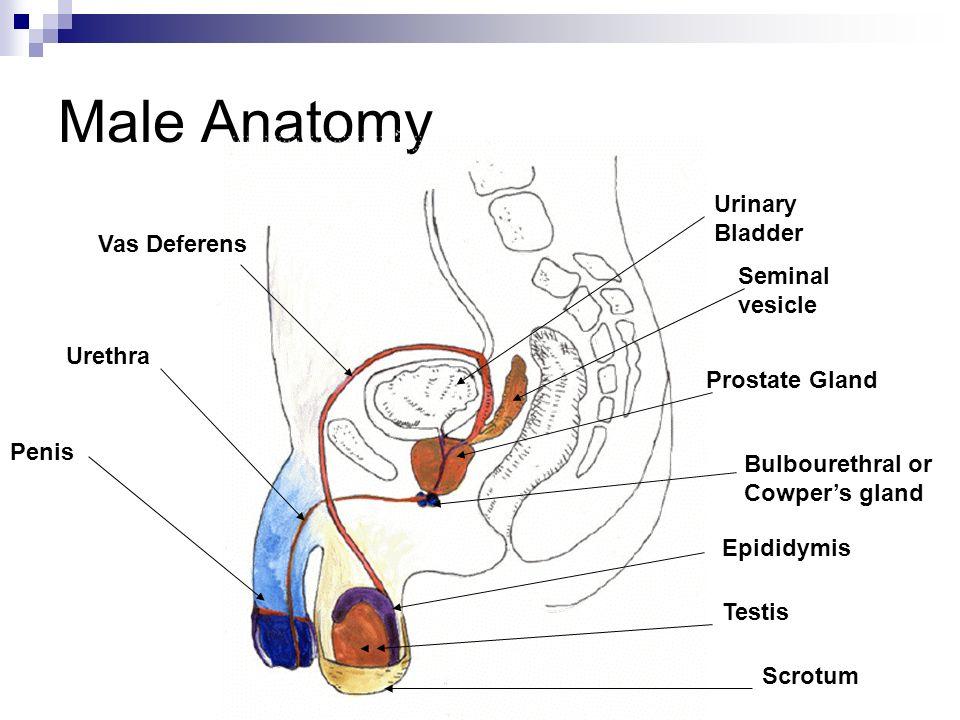 Bladder Base Anatomy Gallery - human body anatomy