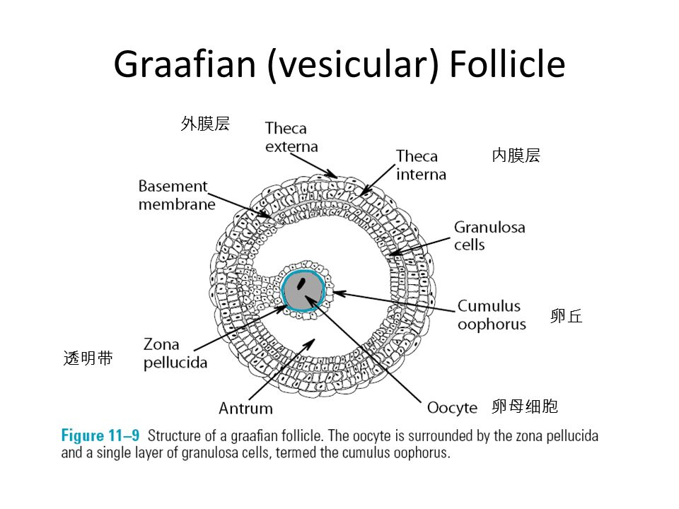 Vesicular Follicle Chapter 9. Hormonal Co...