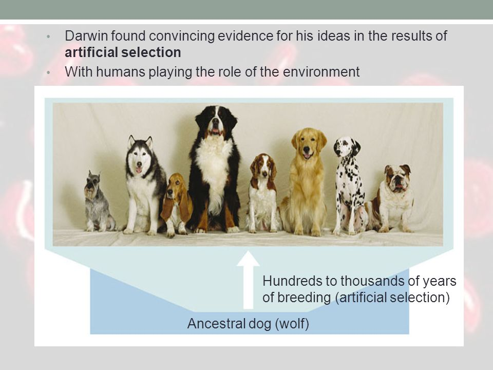 Darwin found convincing evidence for his ideas in the results of artificial selection With humans playing the role of the environment.