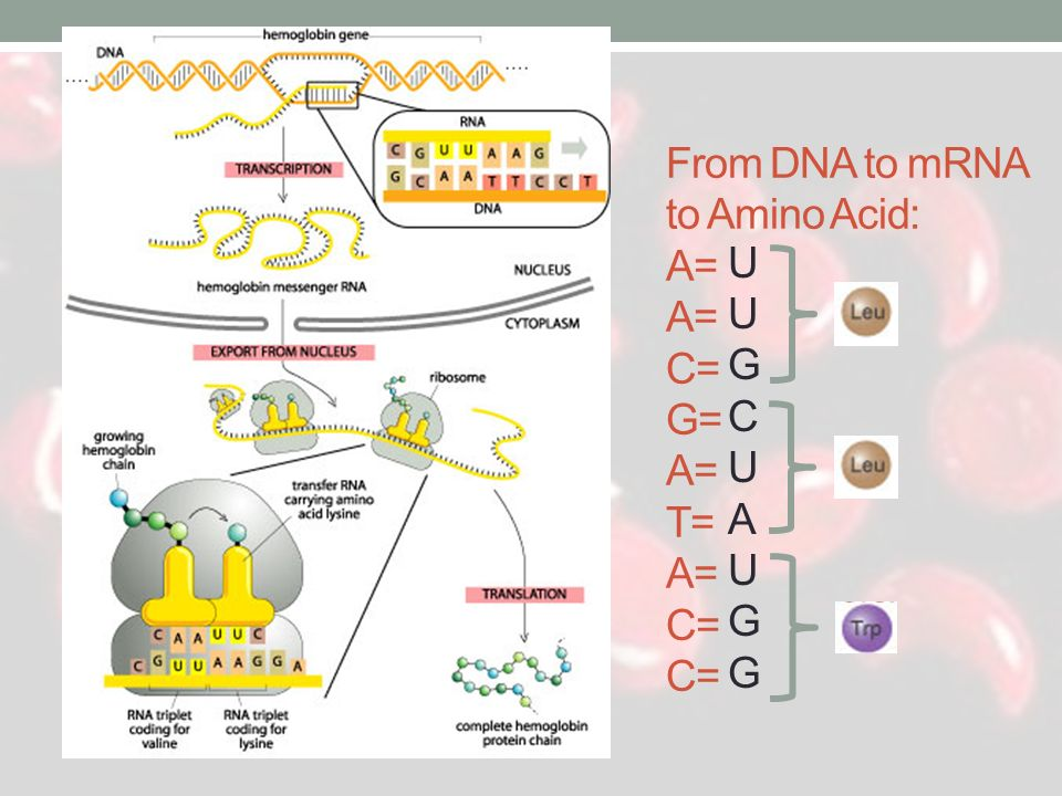 From DNA to mRNA to Amino Acid: A= A= C= G= A= T= A= C= C=