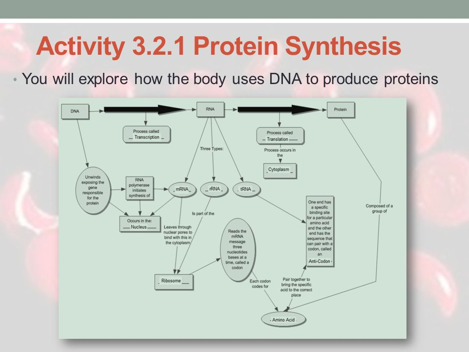 Activity 3.2.1 Protein Synthesis