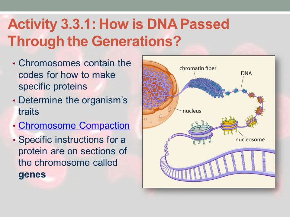 Activity 3.3.1: How is DNA Passed Through the Generations