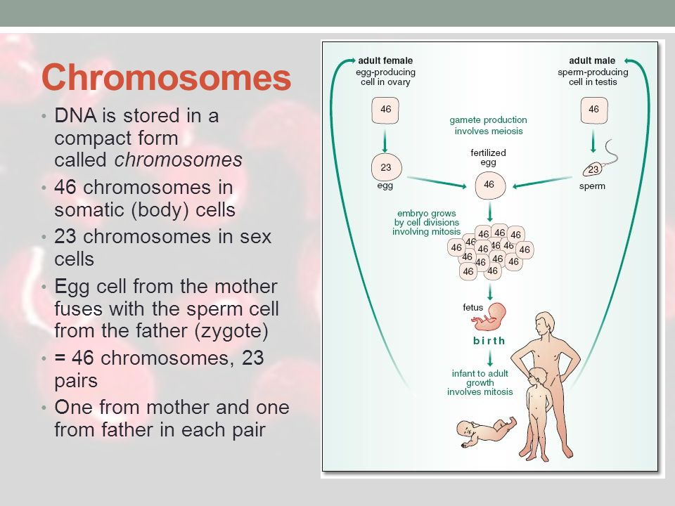 Chromosomes DNA is stored in a compact form called chromosomes