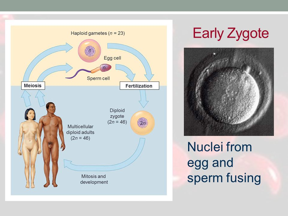 Early Zygote Nuclei from egg and sperm fusing