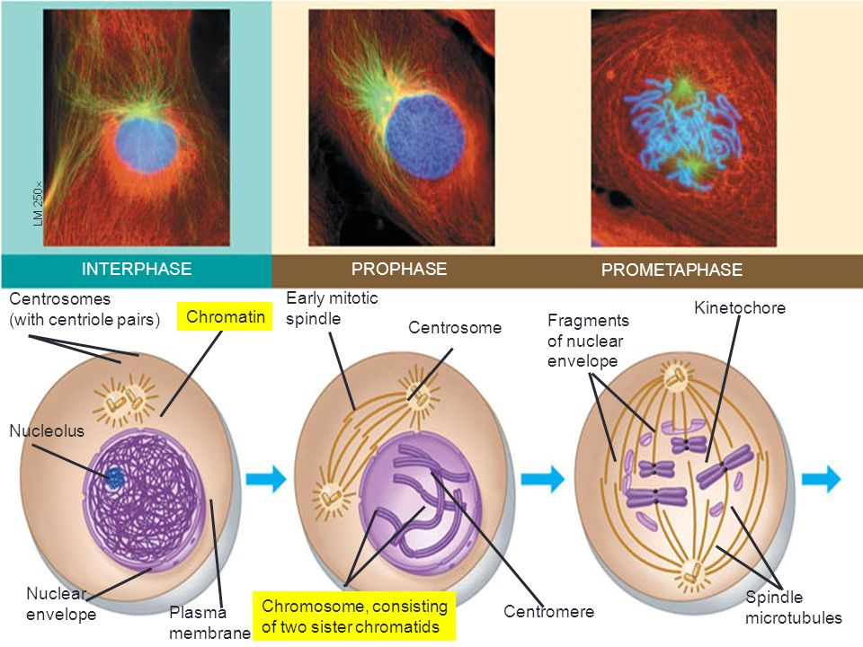 Centrosomes (with centriole pairs)