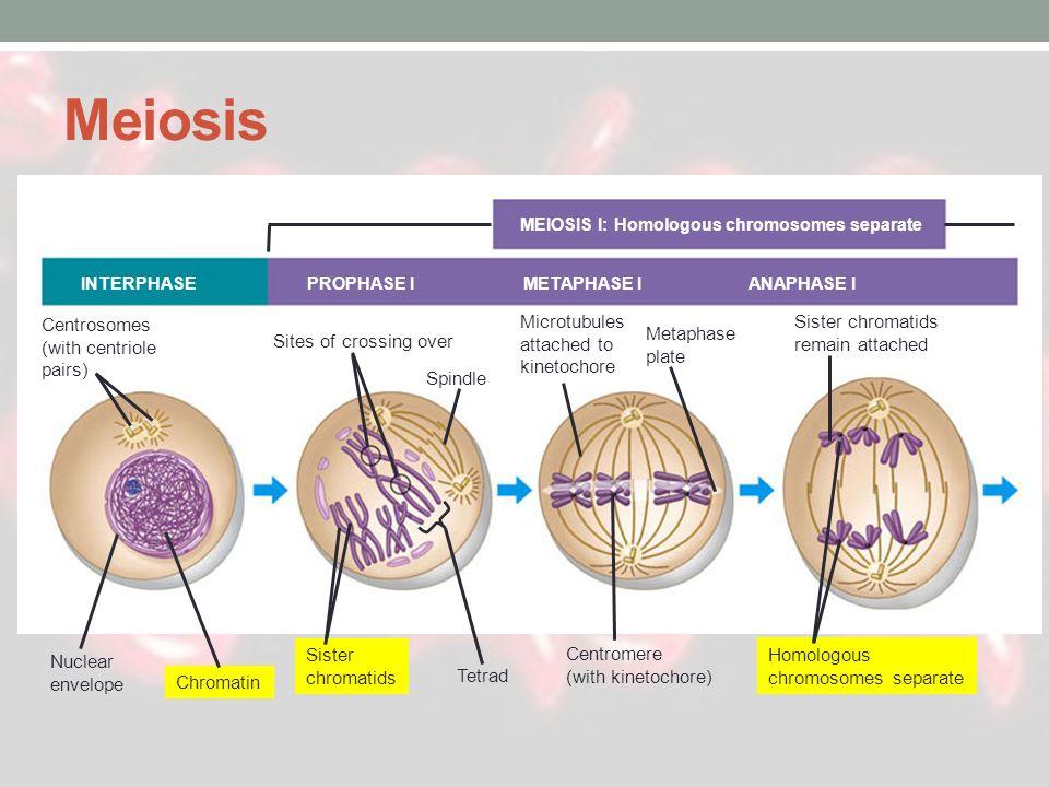 MEIOSIS I: Homologous chromosomes separate