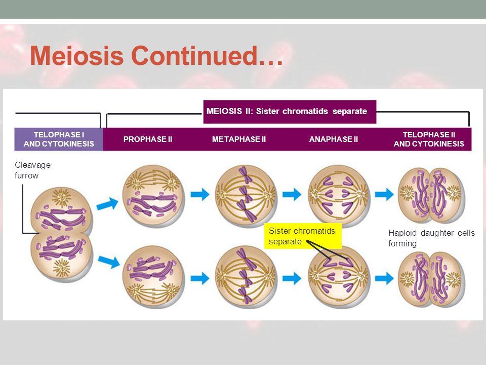 Meiosis Continued… MEIOSIS II: Sister chromatids separate