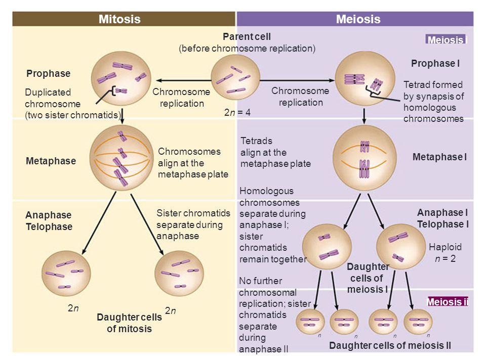 Mitosis Meiosis Parent cell (before chromosome replication) Meiosis i