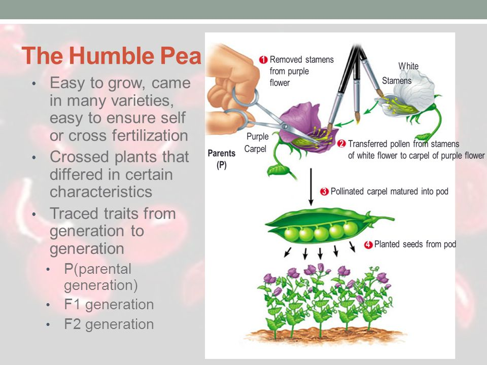 The Humble Pea Easy to grow, came in many varieties, easy to ensure self or cross fertilization.