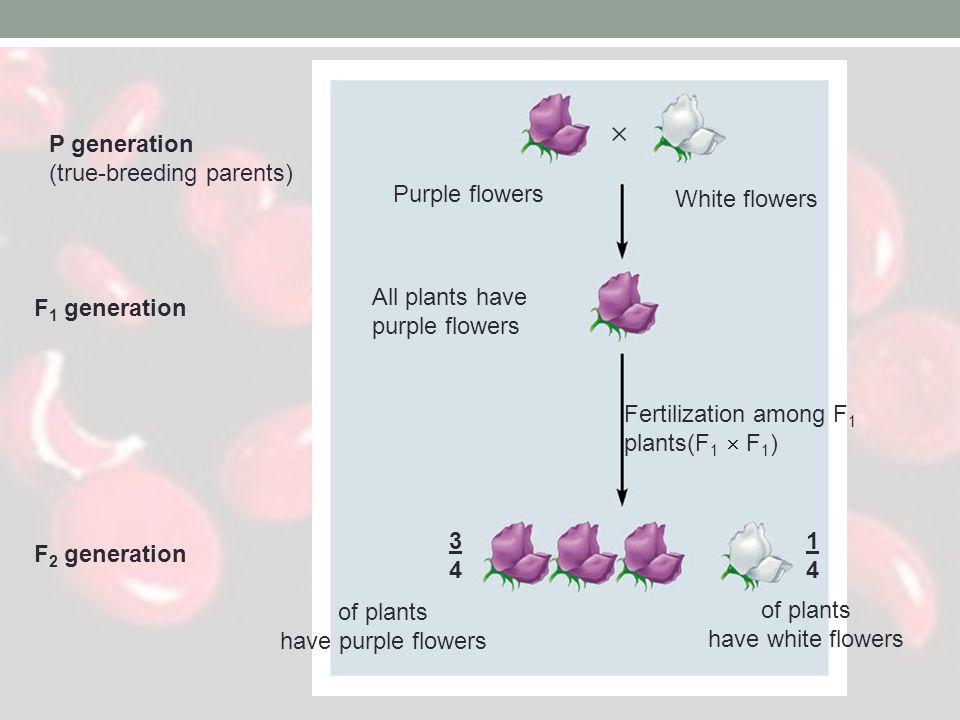  P generation (true-breeding parents) F1 generation F2 generation