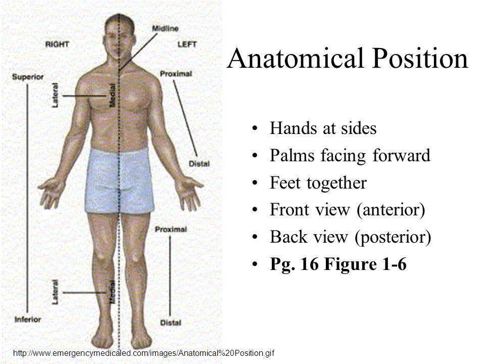 Beautiful Proximal And Distal Definition Anatomy Image Collection ...